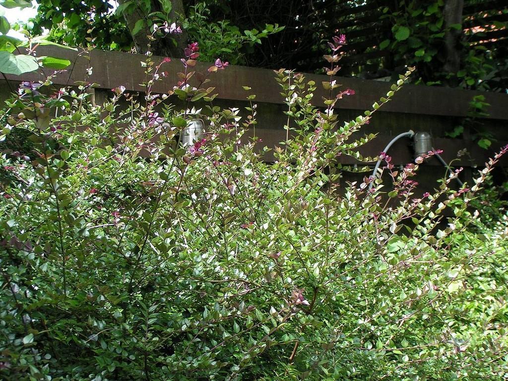 Planter Dans Un Talus lonicera nitida : planter et bouturer – ooreka