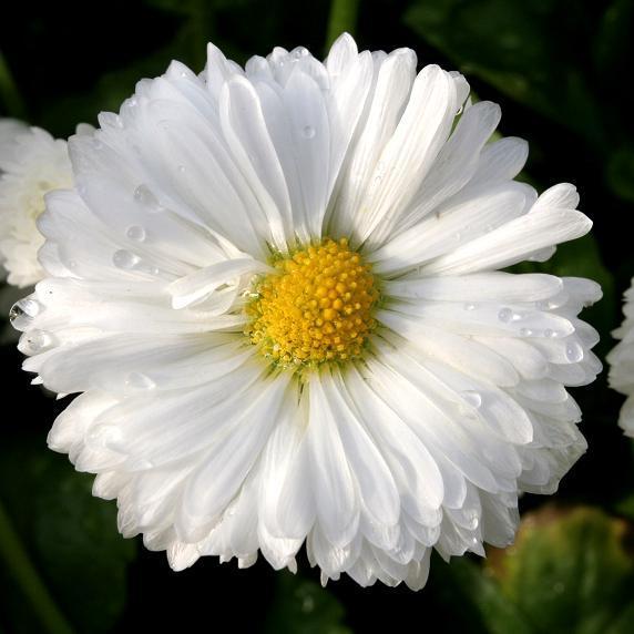 Pâquerettes à grosses fleurs 'Roggli'