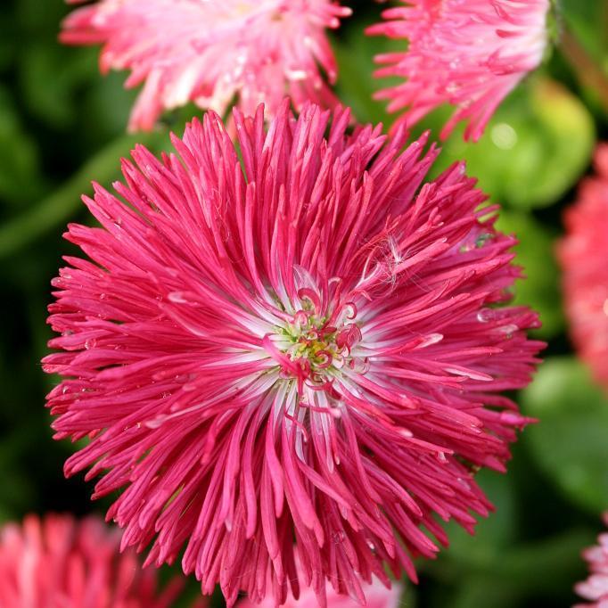 Pâquerettes à fleurs monstrueuses 'Habanera'