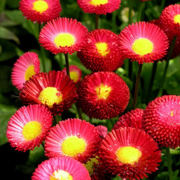Pâquerettes à fleurs monstrueuses 'Tasso'
