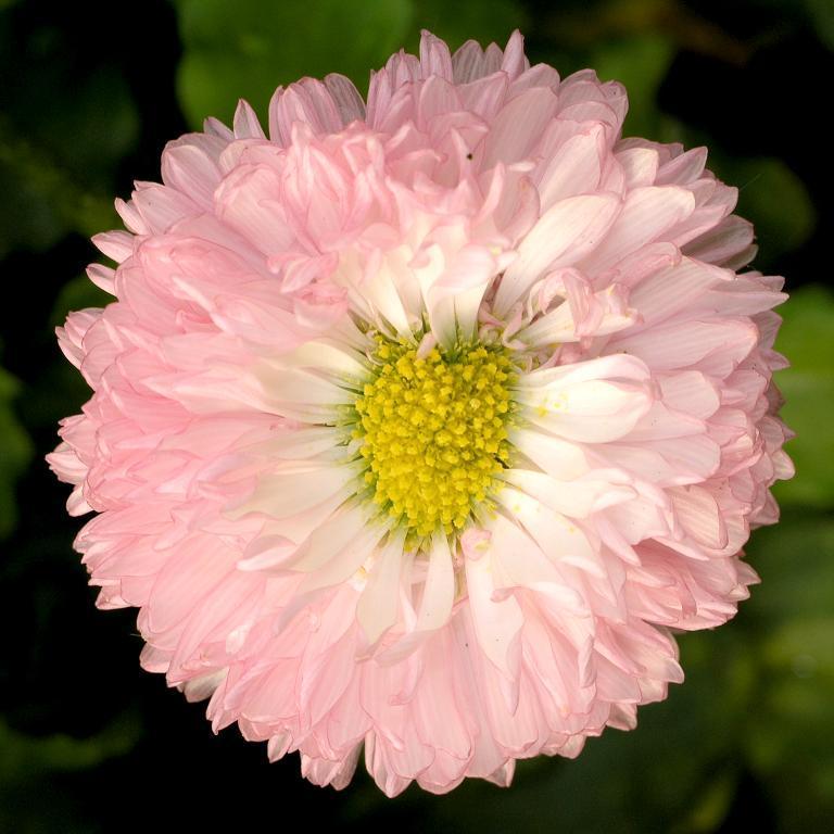 Pâquerettes à grosses fleurs Pâquerette 'Robella'