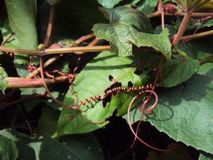Multiplication de <em>Trichosanthes cucumerina</em>