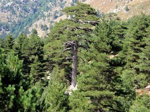 Semis et plantation du pin laricio