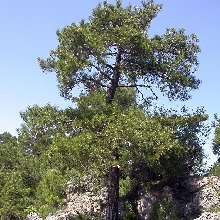 Autres sous-espèces de pins noirs Pin de Salzmann, pin noir des Cévennes (Pinus nigra subsp.salzmannii var.salzmannii, syn. P.n. subsp. clusiana, P.laricio subsp. salzmannii)