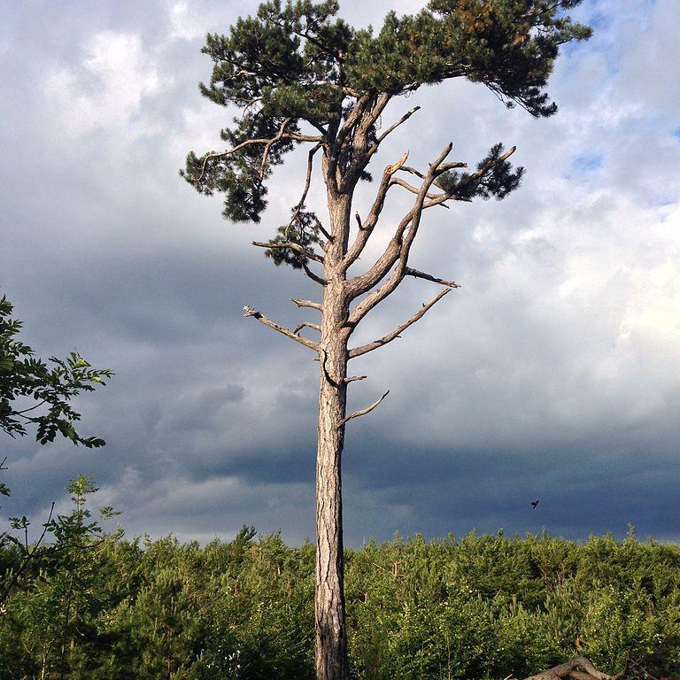Autres sous-espèces de pins noirs Pin noir d'Autriche (Pinus nigra, syn. P.nigra subsp. nigra var. nigra, P.laricio var. austriaca)