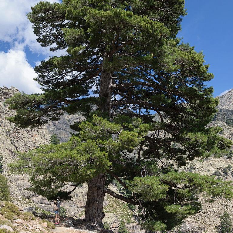 Pinus nigra subsp. laricio Pin laricio de Corse (Pinus nigra subsp. laricio var. corsicana)