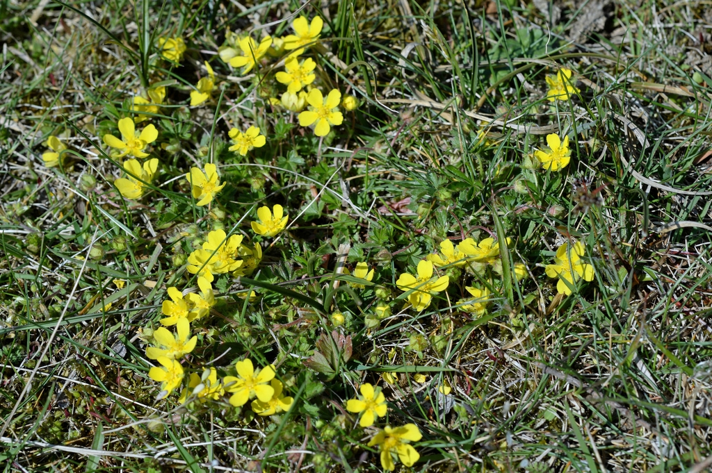 Potentille rampante planter et entretenir ooreka - Mauvaise herbe fleur jaune ...