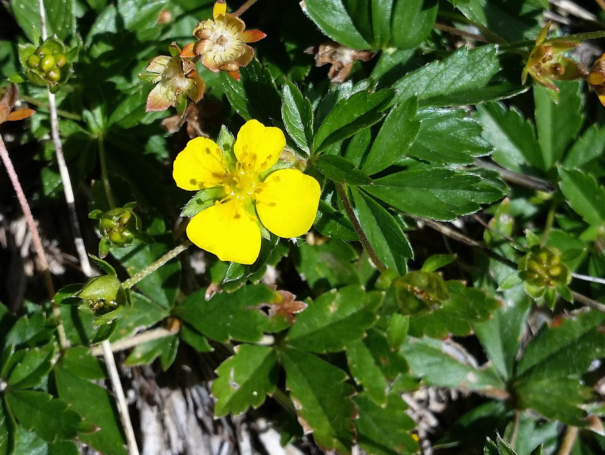 Potentille rampante planter et entretenir ooreka for Plante 7 folioles