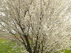 Semis et plantation de prunellier (prunus spinosa)