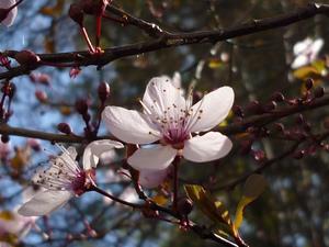 Culture et entretien de <em>Prunus cerasifera</em>