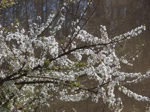 Plantation de <em>Prunus cerasifera</em>