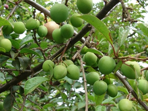 Multiplication de <em>Prunus cerasifera</em>