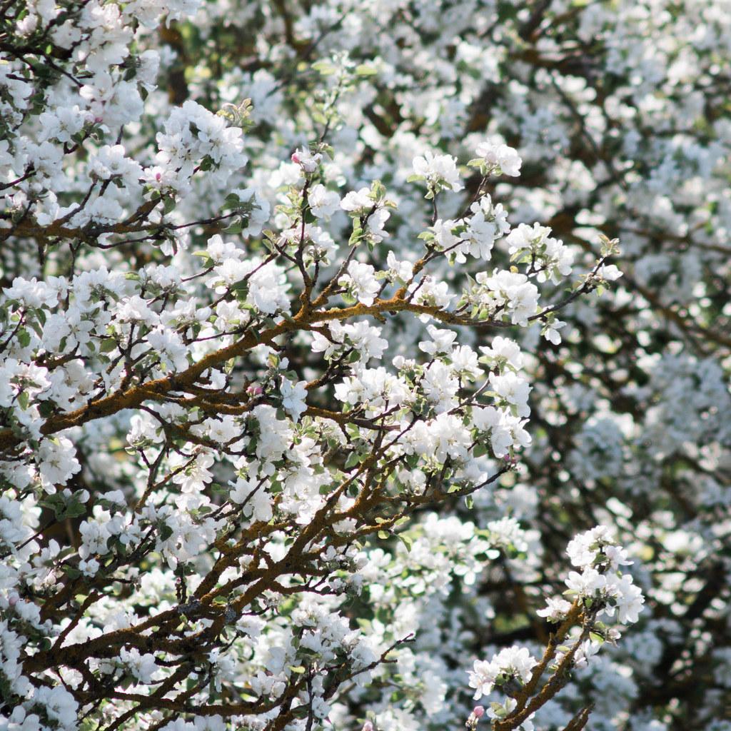 Myrobolan, prunier de pissard, prunier d'ornement (Prunus cerasifera) Espèce type