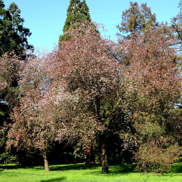Myrobolan, prunier de pissard, prunier d'ornement (Prunus cerasifera) 'Atropurpurea', syn.: 'Pissardii'
