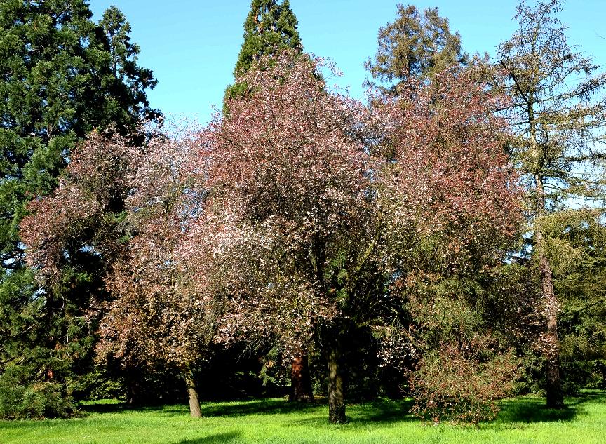Prunus cerasifera : planter et entretenir - Ooreka
