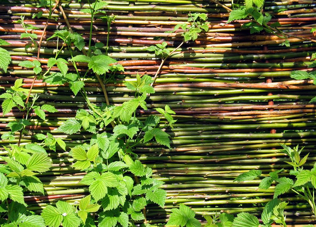 Framboisier planter et tailler ooreka for Plante jardin pas cher