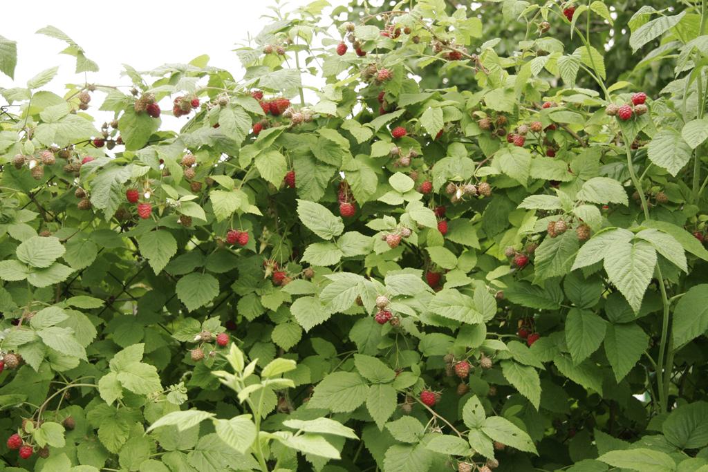 FRAMBOISIER : planter et tailler des framboisiers