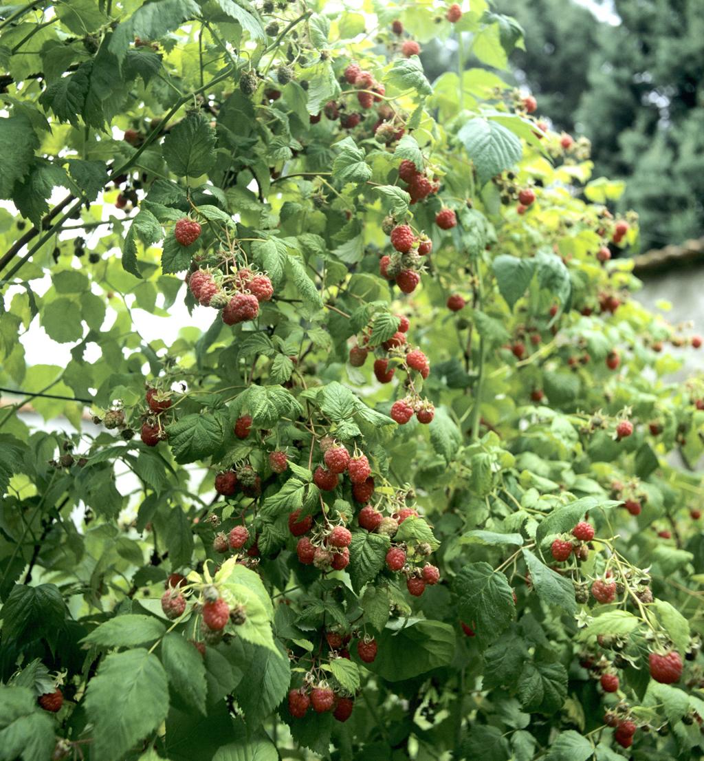 Framboisier : planter et tailler - Ooreka