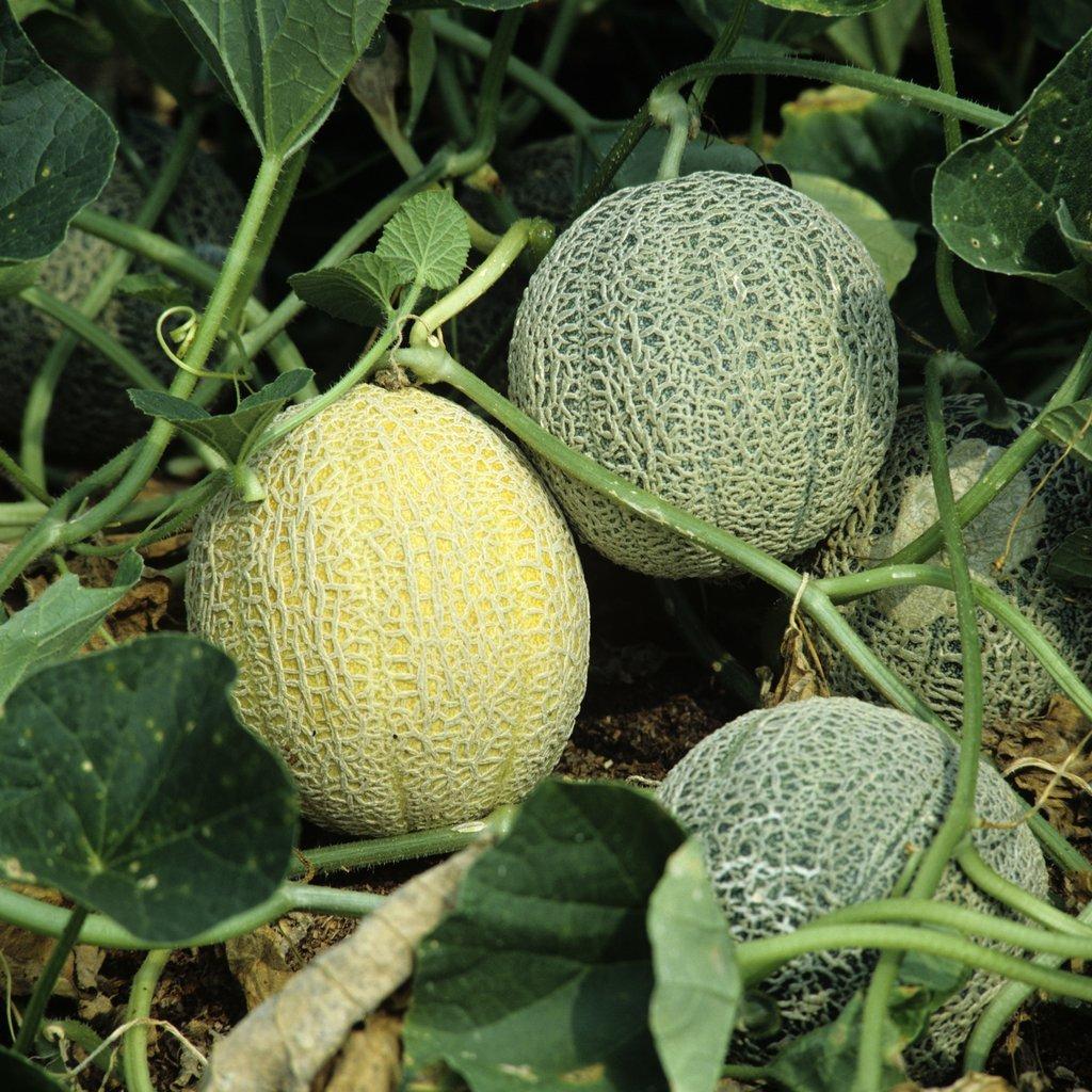 Melons sucrins (très sucrés) 'Sucrin de Tours'