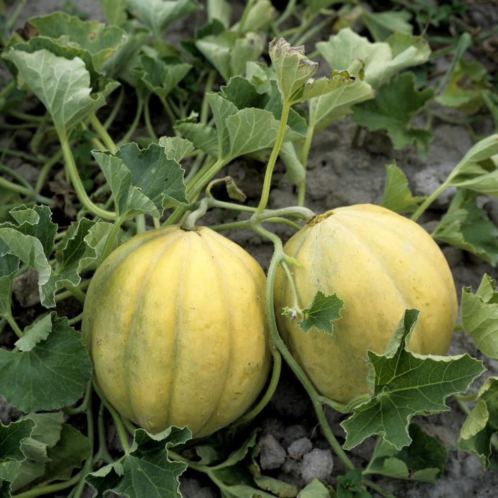 Melons Cantaloups (écorce lisse ou verruqueuse, côtes marquées) 'Charentais jaune'