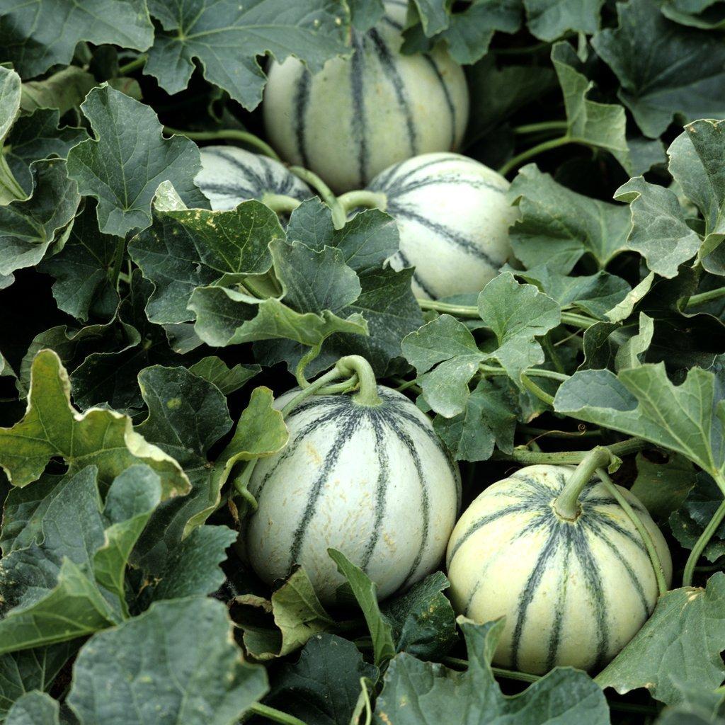 Melons Cantaloups (écorce lisse ou verruqueuse, côtes marquées) 'Charentais vert'