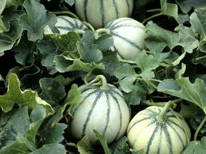 Culture et entretien du melon