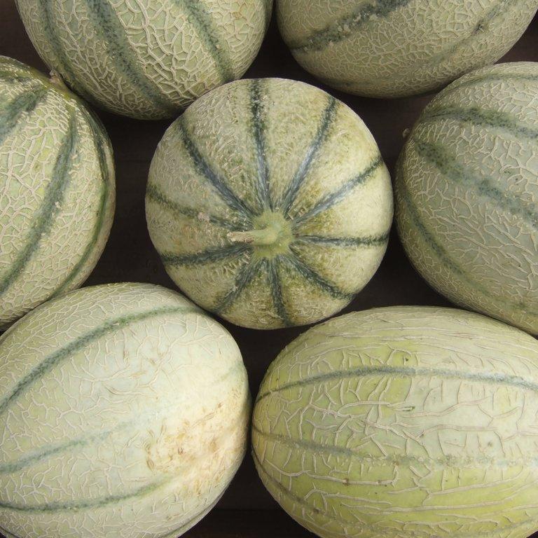 Melons brodés (peau épaisse et rugueuse) 'Anasta F1'