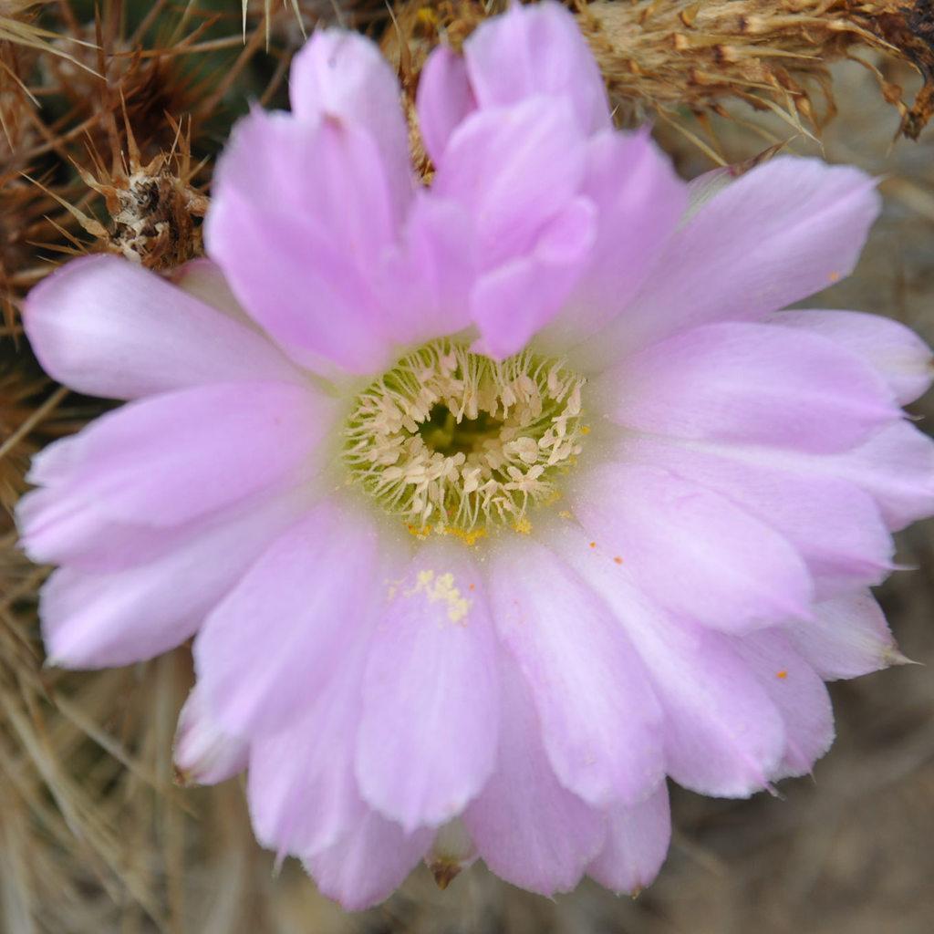 Acanthocalycium spiniflorum 'Violaceum'