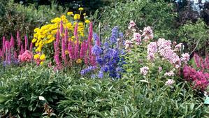 Semis et plantation de la salicaire