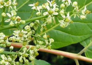 Multiplication d'<em>Ailanthus altissima</em>
