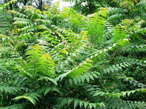 Plantation d'<em>Ailanthus altissima</em>