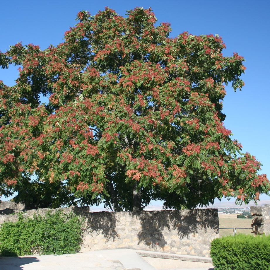 Faux vernis du Japon, ailante glanduleux, vernis de Chine (Ailanthus altissima)