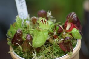 Plantation de <em>Cephalotus follicularis</em>