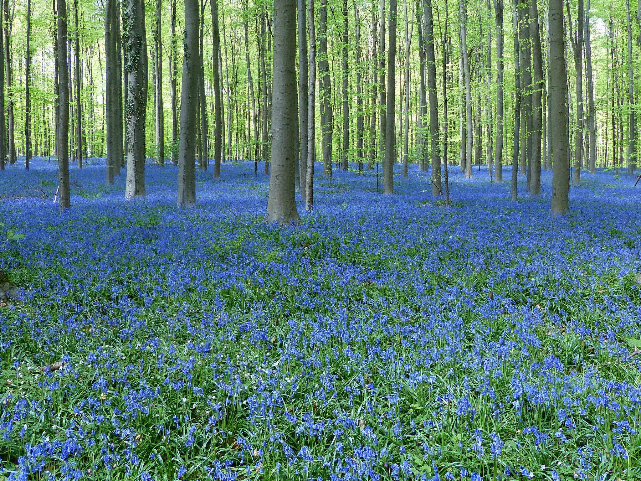 Jacinthe des bois planter et entretenir u2013 Ooreka # Jacinthe Des Bois Blanche