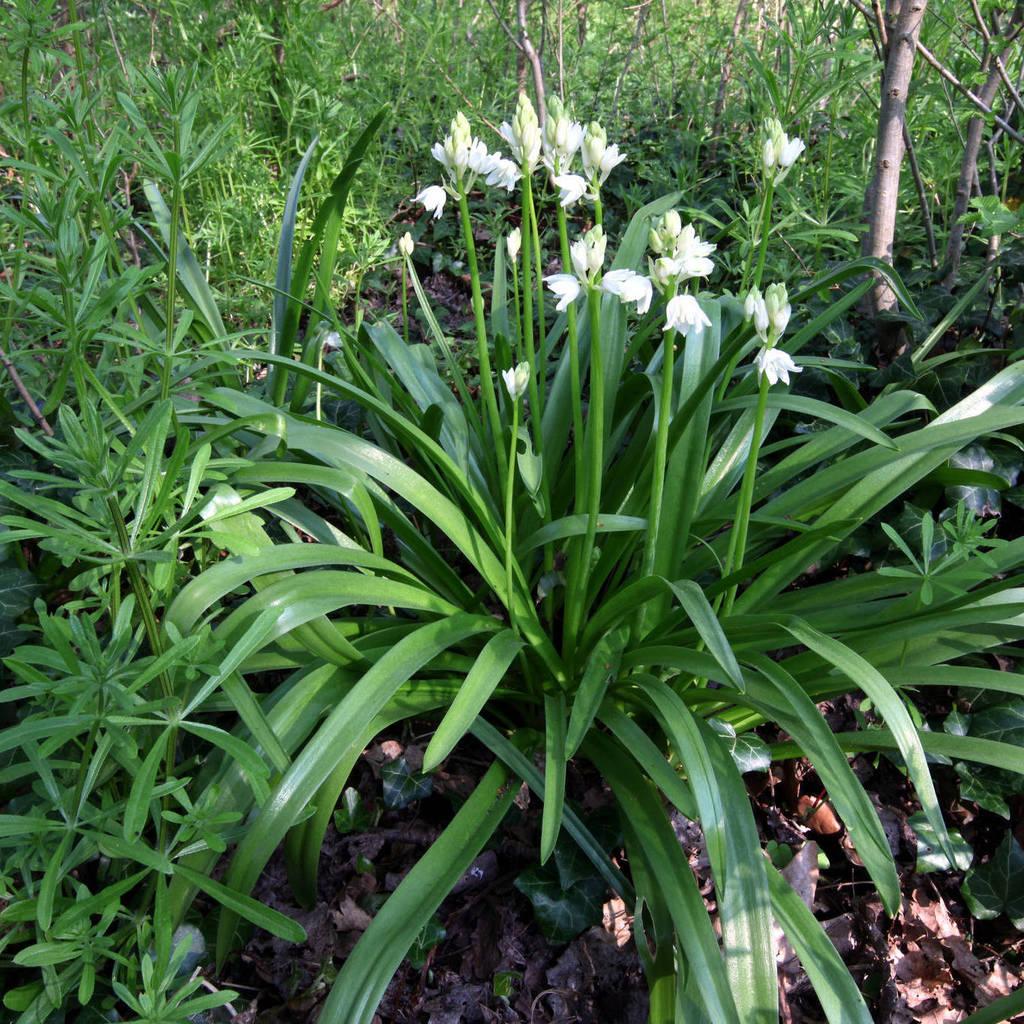 Jacinthe des bois (Hyacinthoides non-scripta)