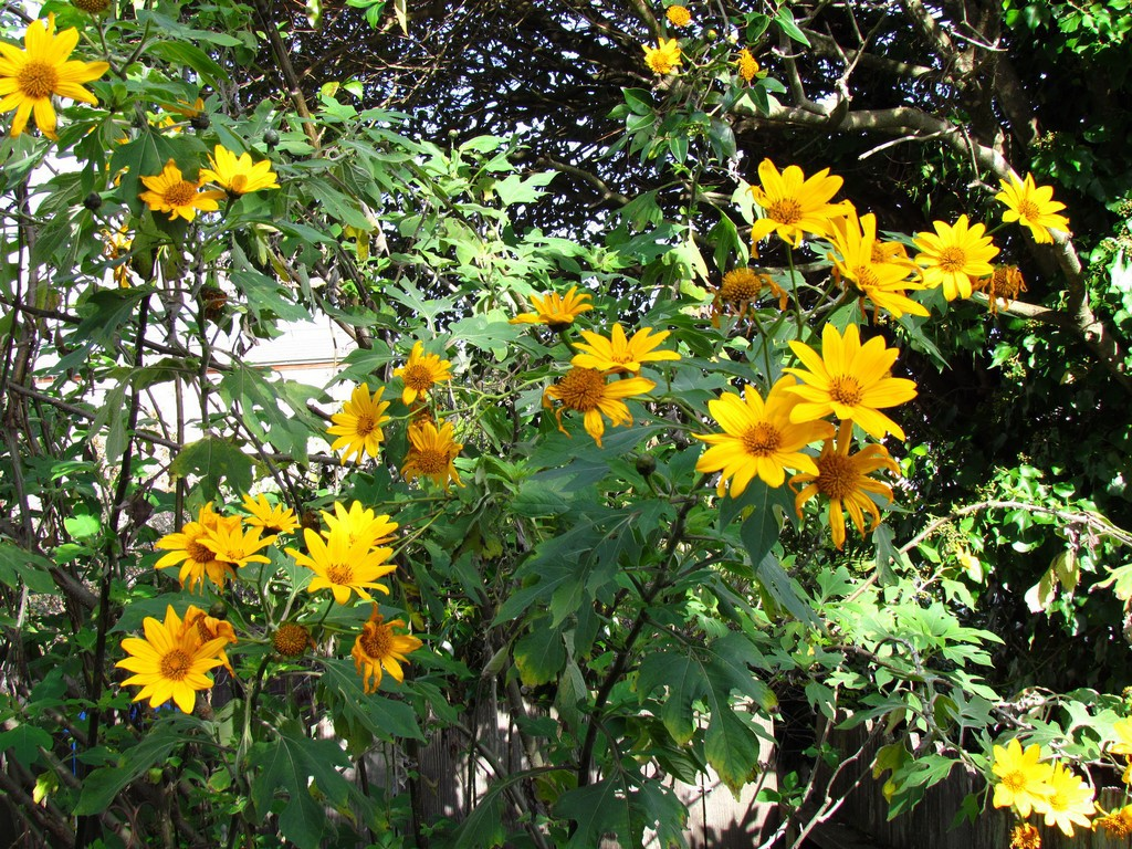 Quand Faut Il Semer Les Tournesols tithonia : planter et entretenir – ooreka