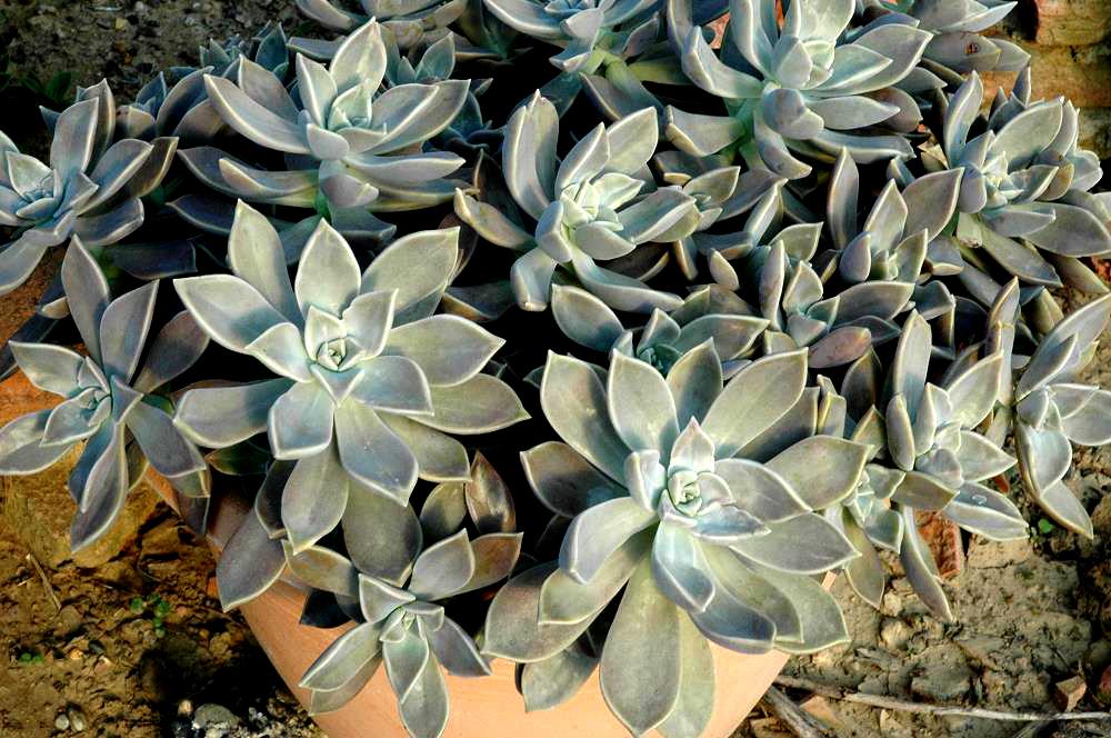 Graptopetalum Paraguayense Planter Et Entretenir Ooreka