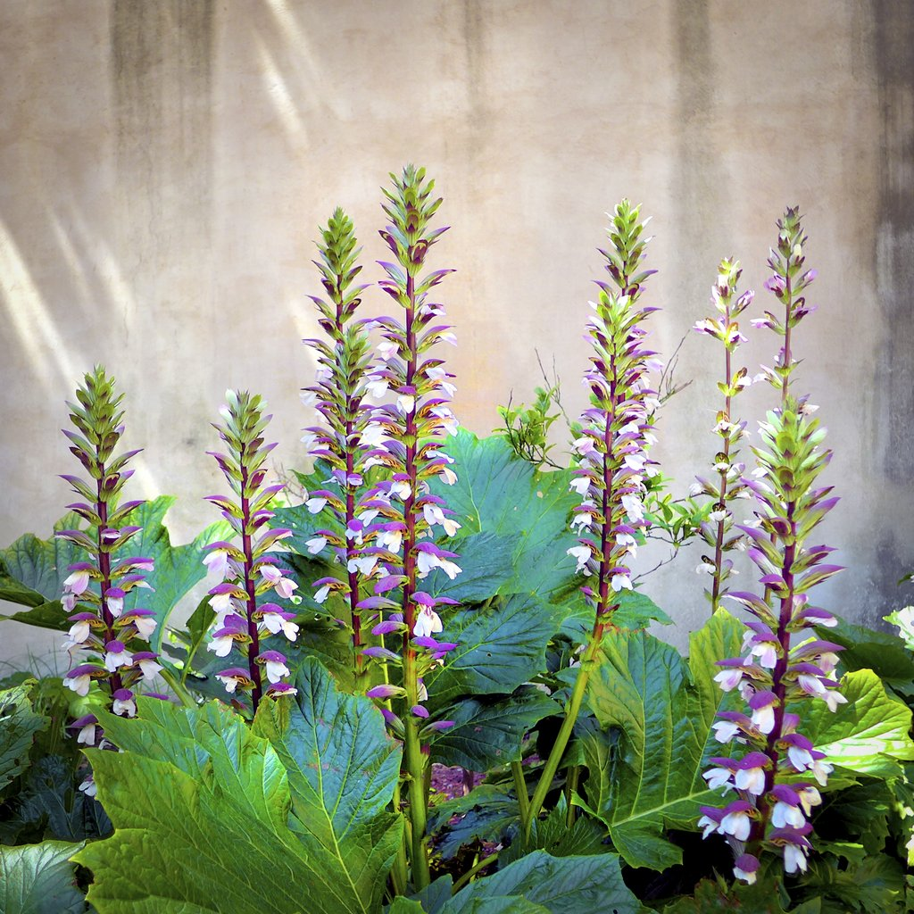Acanthe planter et cultiver ooreka for Plante 4 images 1 mot
