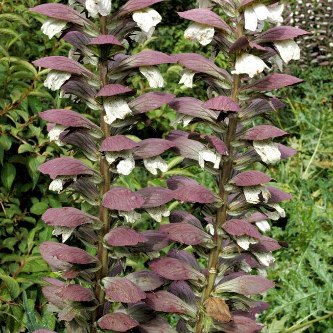 Acanthe épineuse (Acanthus spinosus)