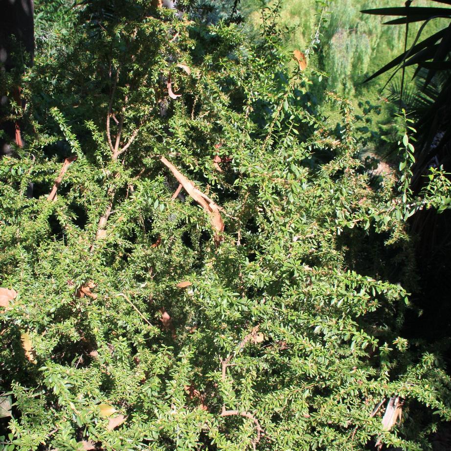 Arganier (Argania spinosa)