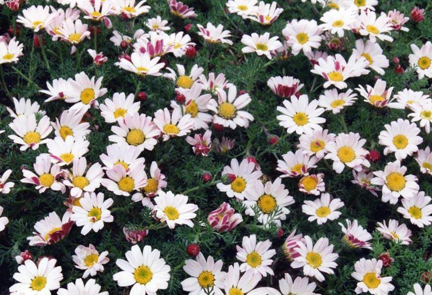 """Résultat de recherche d'images pour """"camomille marocaine fleurs"""""""