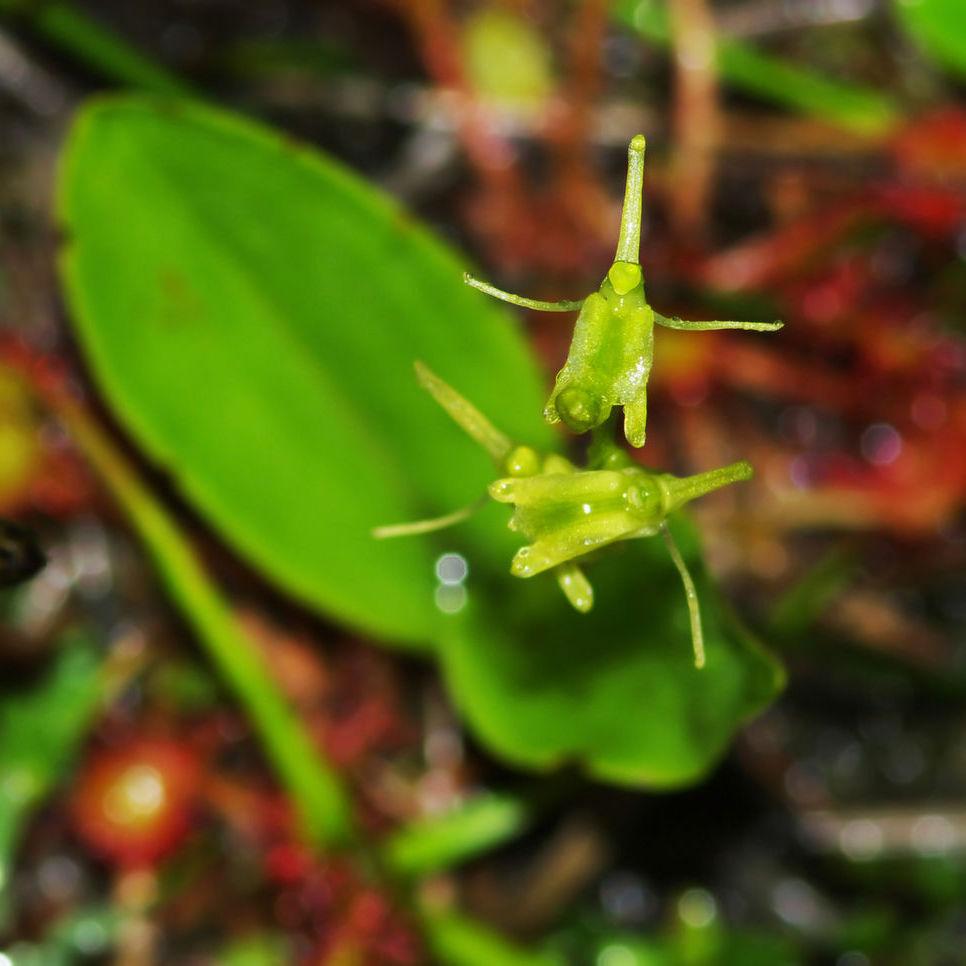 Liparis de Loesel (Liparis loeselii)