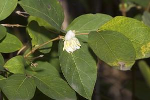 Plantation du <em>Lonicera fragrantissima</em>