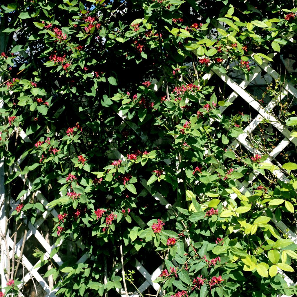 Chèvrefeuille d'hiver (Lonicera fragrantissima)