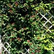 Chèvrefeuille d'hiver (<em>Lonicera fragrantissima</em>)