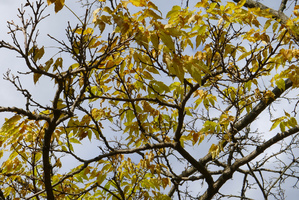 Culture et entretien du <em>Phellodendron amurense</em>