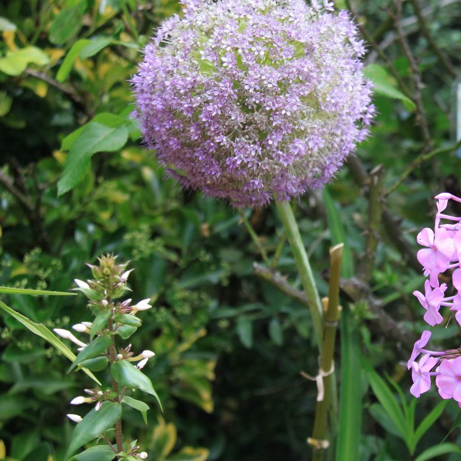 Espèces hautes à grosses fleurs 'Globemaster'
