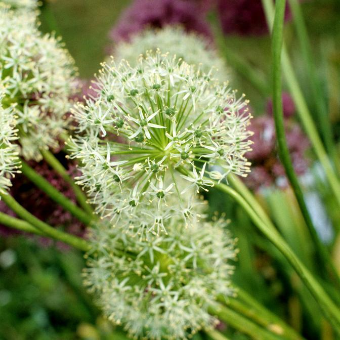 Espèces hautes à grosses fleurs Allium stipitatum