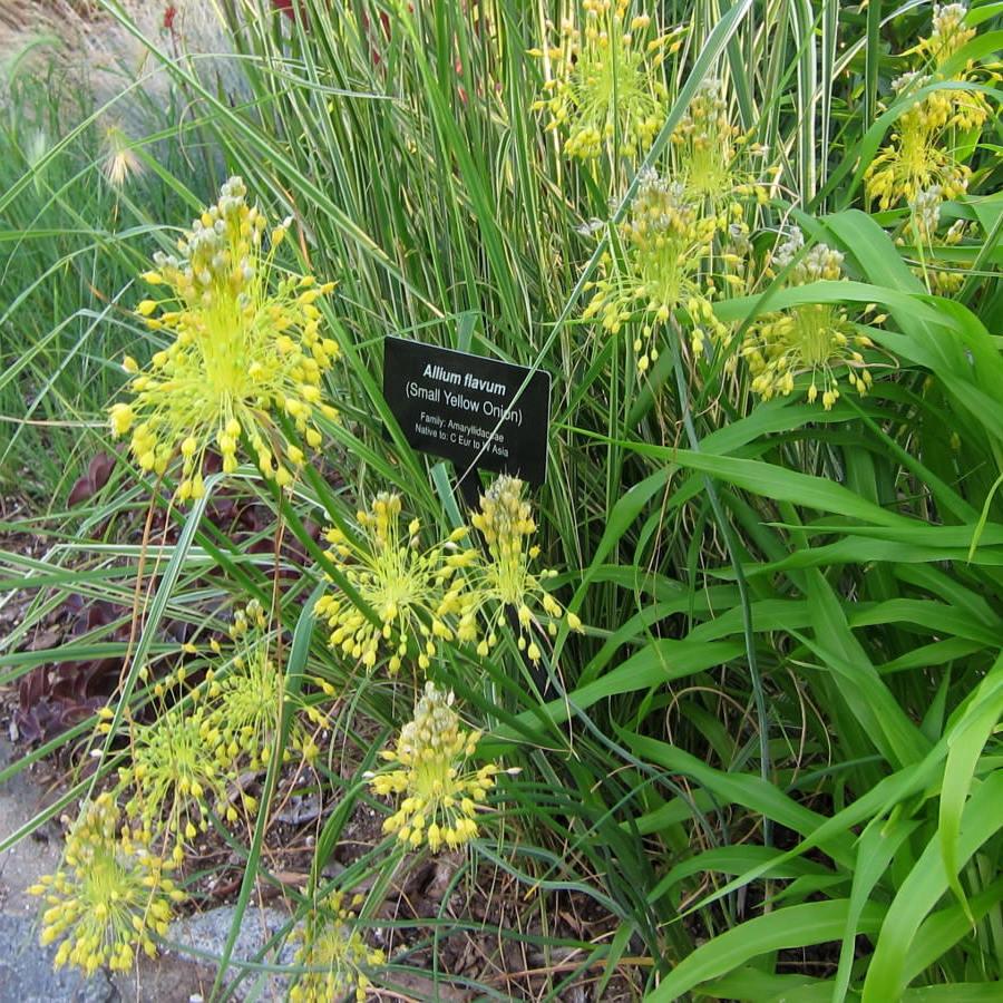 Espèces moyennes Ail jaune (Allium flavum)
