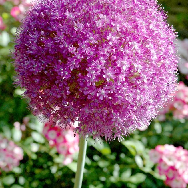 Espèces hautes à grosses fleurs Ail géant (Allium giganteum)